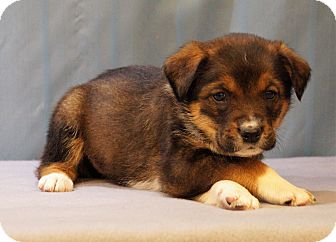 Australian Cattle Dog/Spaniel (Unknown Type) Mix Puppy for adoption in Maynardville, Tennessee - Ethan