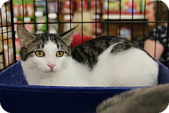 Domestic Shorthair Cat for adoption in Rochester, Minnesota - Squeakers