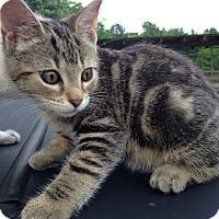Adopt A Pet :: Swirled Tabby - Monroe, NC