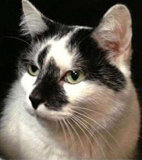 Domestic Shorthair Cat for adoption in Westlake Village, California - Abbie