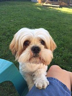 Shih Tzu Dog for adoption in N. Babylon, New York - Nibbly