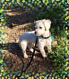 Bichon Frise Dog for adoption in Tulsa, Oklahoma - Adopted!! Bloomie - CO