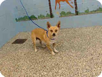 Chihuahua Mix Dog for adoption in San Bernardino, California - URGENT ON 7/18  San Bernardino