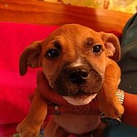 Retriever (Unknown Type)/Hound (Unknown Type) Mix Puppy for adoption in st. pete., Florida - Skyla