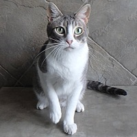 Domestic Shorthair Cat for adoption in Seguin, Texas - Simon