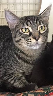 Domestic Shorthair Cat for adoption in Meridian, Idaho - Olivia
