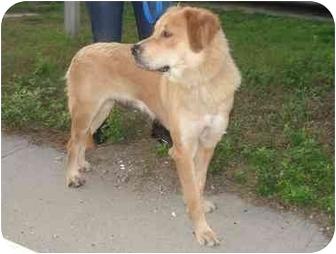 Golden Retriever/Bernese Mountain Dog Mix Dog for adoption in Freeport, New York - Lola