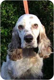 Cocker Spaniel Dog for adoption in Sugarland, Texas - Berry