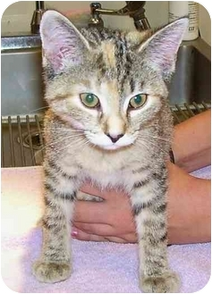 Domestic Shorthair Kitten for adoption in Odenton, Maryland - Peaches