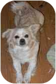 Papillon/Pekingese Mix Dog for adoption in Foster, Rhode Island - Gigi