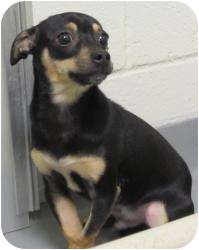 Chihuahua Mix Dog for adoption in Bloomfield, Connecticut - Booker