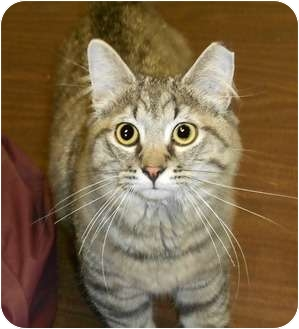 Domestic Mediumhair Cat for adoption in Chesapeake, Virginia - Xavi