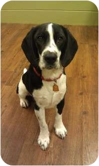 Hound (Unknown Type)/Basset Hound Mix Dog for adoption in Lake Odessa, Michigan - Emmett