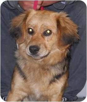Sheltie, Shetland Sheepdog Mix Dog for adoption in Belvidere, Illinois - Hewey