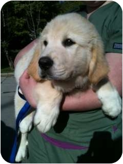 Golden Retriever/Great Pyrenees Mix Puppy for adoption in Roanoke, Virginia - Haymitch