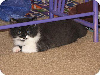 Norwegian Forest Cat Kitten for adoption in Pittstown, New Jersey - Oreo