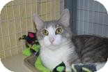 Domestic Shorthair Cat for adoption in Edwardsville, Illinois - Dolly