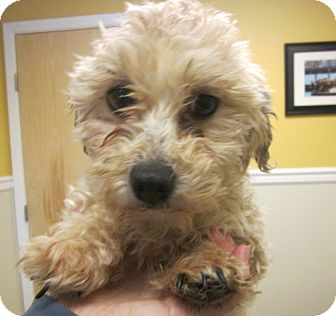 Havanese/Maltese Mix Dog for adoption in Oak Ridge, New Jersey - Grilled Cheese