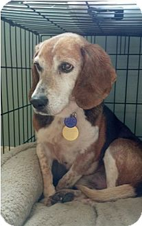 Beagle Dog for adoption in Waldorf, Maryland - Billy Biro