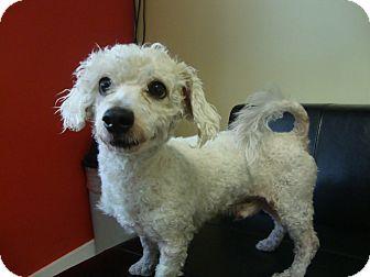 Poodle (Miniature) Mix Dog for adoption in Philadelphia, Pennsylvania - Bubba