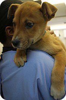 Labrador Retriever Mix Puppy for adoption in Waldorf, Maryland - Zip