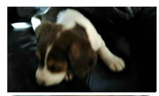 Pointer Mix Puppy for adoption in Orland Park, Illinois - Chrissy