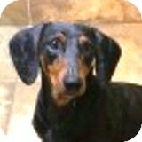 Dachshund Dog for adoption in Houston, Texas - Franklin Frisbee