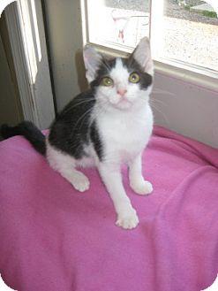 Domestic Shorthair Kitten for adoption in Bloomsburg, Pennsylvania - Lilah