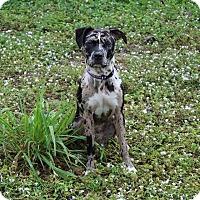 Adopt A Pet :: Kahlua - Lake Worth, FL