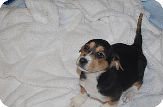 Collie Mix Puppy for adoption in Hainesville, Illinois - Pisces