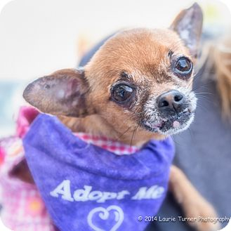 Chihuahua Dog for adoption in San Marcos, California - Noelle