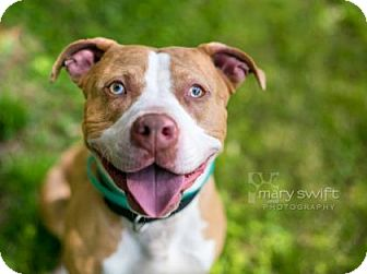 American Pit Bull Terrier Mix Dog for adoption in Reisterstown, Maryland - Mosley
