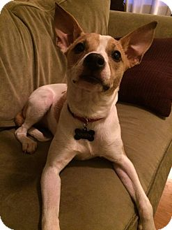 Rat Terrier/Chihuahua Mix Puppy for adoption in Bardonia, New York - Vivien