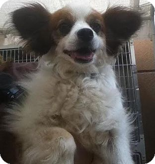 Papillon Dog for adoption in Westminster, California - Coleman