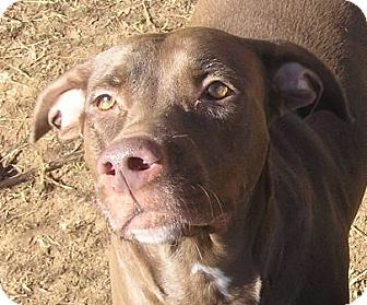 Labrador Retriever/American Pit Bull Terrier Mix Dog for adoption in Cross Roads, Texas - Dixie