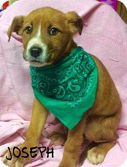 Labrador Retriever Mix Puppy for adoption in Brattleboro, Vermont - Joseph