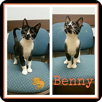 Domestic Shorthair Kitten for adoption in Steger, Illinois - Benny