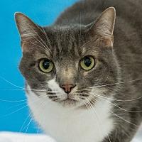 Domestic Shorthair Cat for adoption in Houston, Texas - E-Man