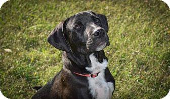 Labrador Retriever Mix Puppy for adoption in Wichita, Kansas - Rugar