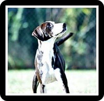 Pointer Mix Dog for adoption in Indian Trail, North Carolina - Winston
