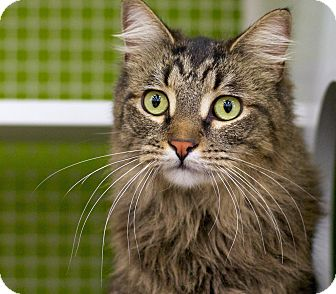 Maine Coon Cat for adoption in Troy, Michigan - Glenwood