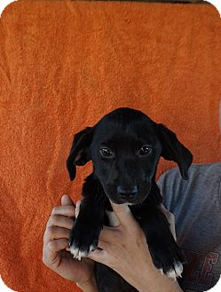 Labrador Retriever/Golden Retriever Mix Puppy for adoption in Oviedo, Florida - Miley