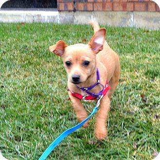 Chihuahua Mix Puppy for adoption in Wheaton, Illinois - Winnie