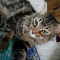 Domestic Mediumhair Cat for adoption in Pasadena, California - Mr. GoLightly