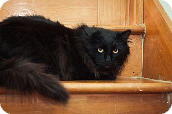 Domestic Longhair Cat for adoption in Brimfield, Massachusetts - GoldenEye