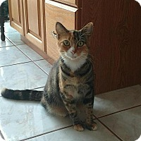 Domestic Shorthair Cat for adoption in Tampa, Florida - Calli