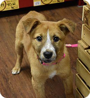 Collie/Labrador Retriever Mix Puppy for adoption in Nyack, New York - Callie