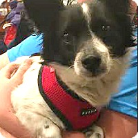 Adopt A Pet :: Chance-ADOPTION PENDING - Boulder, CO