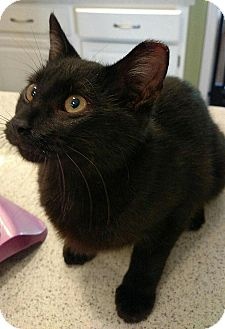 Domestic Shorthair Cat for adoption in Tampa, Florida - Jovie