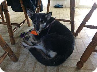 Spitz (Unknown Type, Medium) Mix Dog for adoption in Hamilton, Ontario - Rachel
